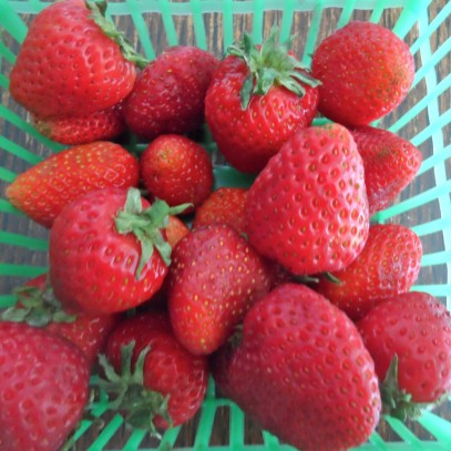 strawberry season!